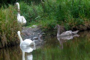 Gallery image - Swans at Eskrigg Nature Reserve