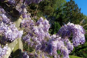 Castledykes Park, picnic outing. Taken by a young person. beautiful purple blossoms